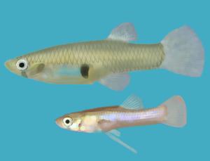 Живородящая рыбка Гамбузия