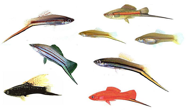 фото меченосца рыбки