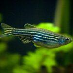 Страдает ли ваша аквариумная рыбка?