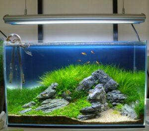 Бликса японика в аквариуме в стиле ивагуми